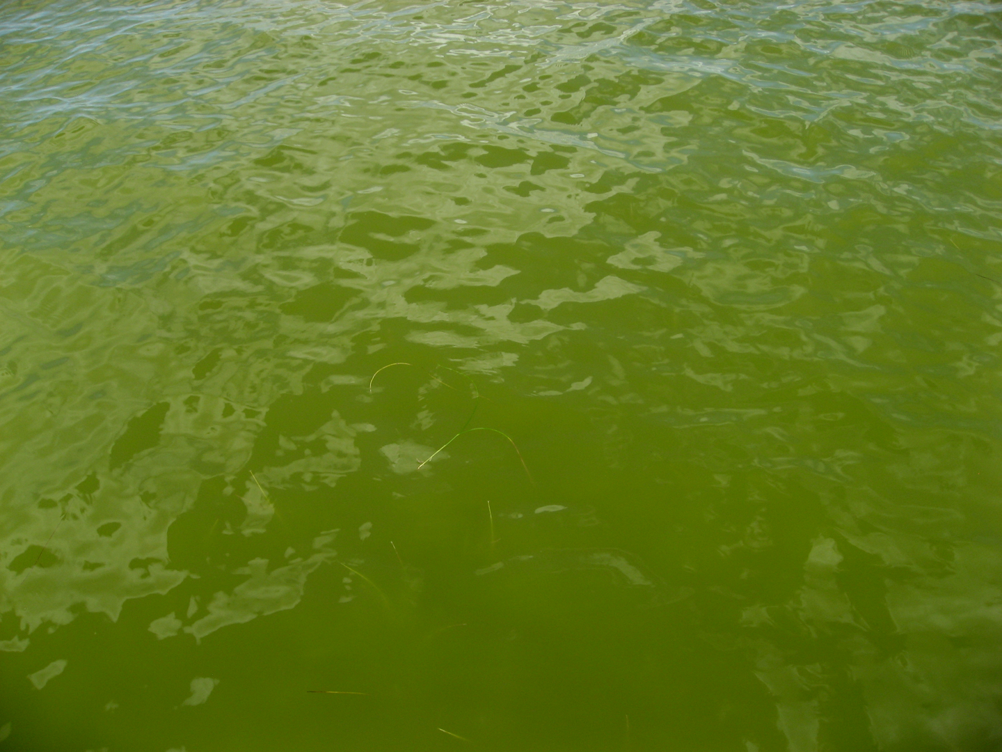 Discolored water in the Indian River Lagoon was caused by algae.