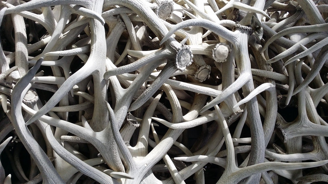 Montana sold more than $300,00 worth of horn, hide and antlers.
