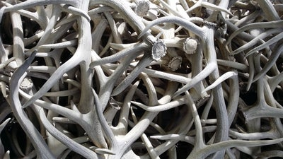 Montana Fish, Wildlife, and Parks Auctions $311,740 Worth of  Horns, Antlers, and Trophy Mounts for Conservation
