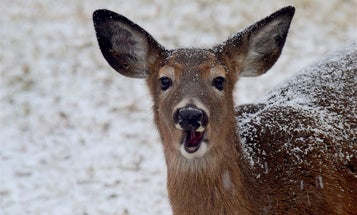 Maine Is Asking Whitetail Hunters to Kill More Does