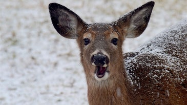 Maine needs deer hunters to harvest more does.