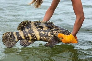 Florida Anglers Are Asking For a Goliath Grouper Season, But it May Be Too Late