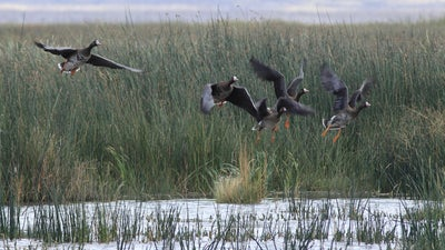 Smoke From Western Wildfires Likely Disrupts Waterfowl Migration in Pacific Flyway