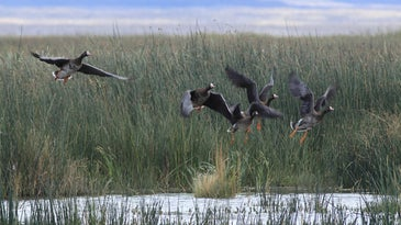 Tule white-fronted geese had to alter their migration this fall due to wildfires.
