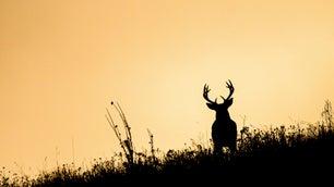 whitetail buck at sunset