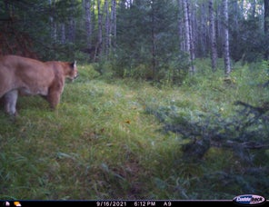 Mountain Lions in Michigan: Another Confirmed Cougar Sighting Makes For 10 This Year