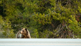 Problem bears in grizzly country are a byproduct of expanding bear populations