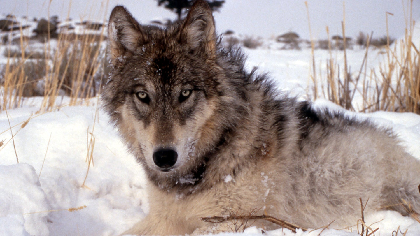 The Wisconsin wolf hunt has been halted by a judge.