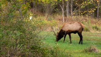 CWD in Pennsylvania deer is a potential threat to the state's elk herd.